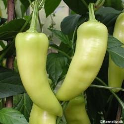 Chili Pepper 'Hungarian...