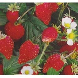 Strawberry 'Regina'