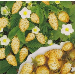 Strawberry 'Yellow Wonder'