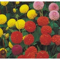 Dahlia variabilis 'Pompon mix'