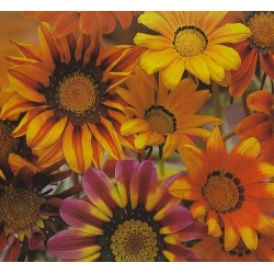 Gazania splendens 'Mix',...