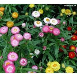 Helichrysum monstrosum 'Tom...