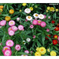 Helichrysum monstrosum tom thumb strawflower the flowers are excellent for drying they retain their colour and shape after drying strawflowers are perennial plants but they are grown as annuals in mightylinksfo