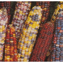 Zea mays, Ornamental Corn