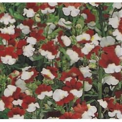 Nemesia strumosa 'White & red'