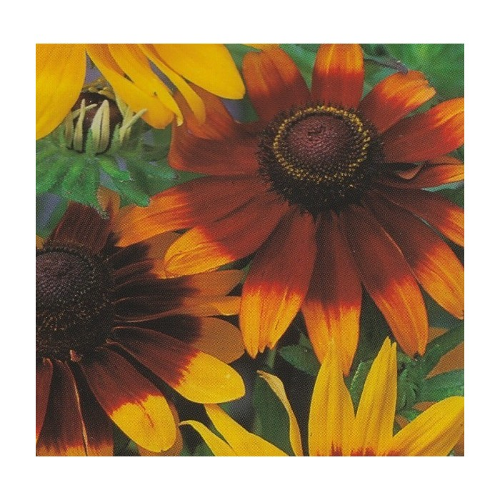 Rudbeckia Hirta Mix Black Eyed Susan
