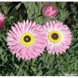 Helipterum roseum, Paper Daisy