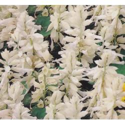 Salvia splendens 'White',...