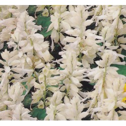 Salvia splendens 'White',...