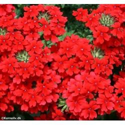 Verbena x hybrida 'Red'