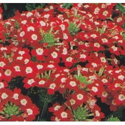 Verbena x hybrida 'Red/white'