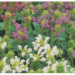 Prunella grandiflora, Brunelle
