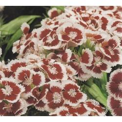 Dianthus barbatus 'Holborn...