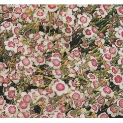Dianthus deltoides...