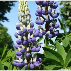 Lupinus polyphyllus 'The...
