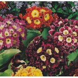 Primula x pubescens, Garden...
