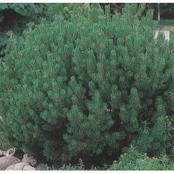 Pinus mugo var. mughus,...
