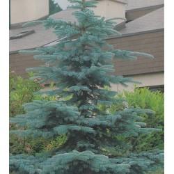 Picea pungens f. glauca,...