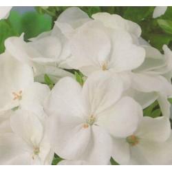 Pelargonium x hortorum...