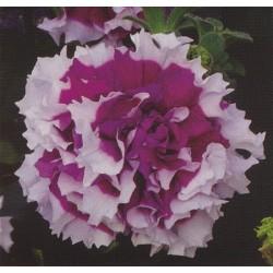 Petunia x hybrida 'Purple...