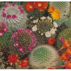 Mammillaria 'Mix'