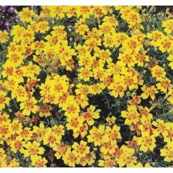 Tagetes tenuifolia 'Lemon...