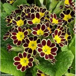 Primula x polyantha 'Gold...