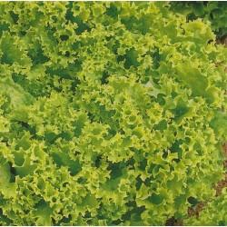 Lettuce, Butterhead 'Frillice'