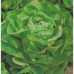Lettuce, Butterhead...
