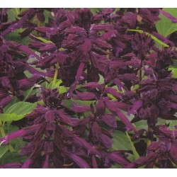 Salvia splendens 'Purple',...