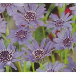 Felicia heterophylla, Blue...