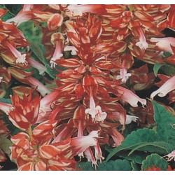 Salvia splendens 'White-Red...