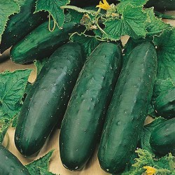 Outdoor Cucumber...