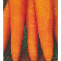 Carrot 'Vita Longa'