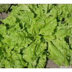 Lettuce, Picking...