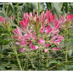 Cleome hassleriana 'Rose...