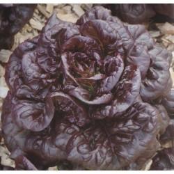 Lettuce, Butterhead 'Maiko'