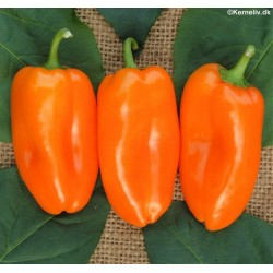Sweet Pepper 'Hamik'