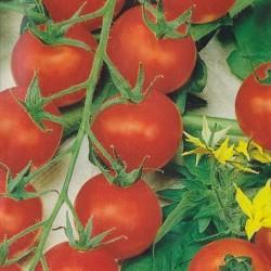Cherry Tomato 'Cherrola F1'
