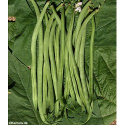 Buskbønne 'Speedy', Økologisk