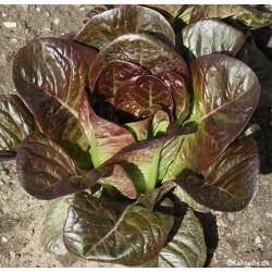 Romaine salat 'Redza'