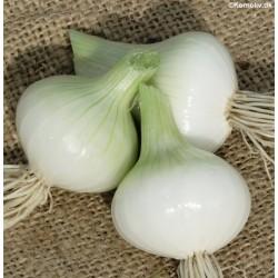 Forårsløg (Salatløg) 'White...
