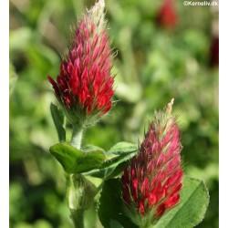 Trifolium incarnatum,...