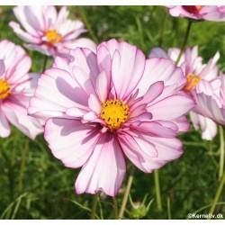 Cosmos bipinnatus 'Sweet...