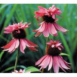 Echinacea purpurea 'Double...