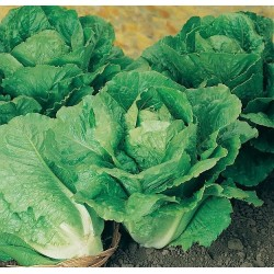 Lettuce, Cos 'Winter Density'