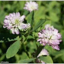 Trifolium resupinatum,...