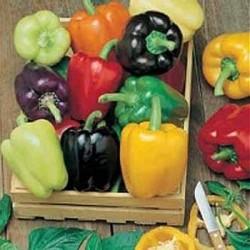 Sweet Pepper 'Colour Spectrum'