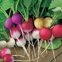 Radish 'Bright Lights'