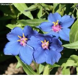 Anagallis monellii ssp...